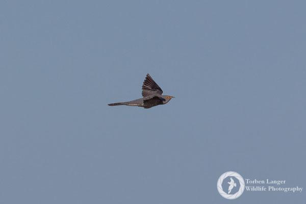 Cuculus canorus / Common Cuckoo / Kuckuck