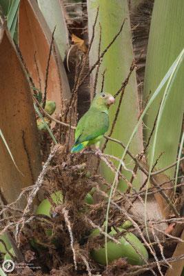 Brotogeris cyanoptera / Cobalt-winged Parakeet / Kobaltflügelsittich