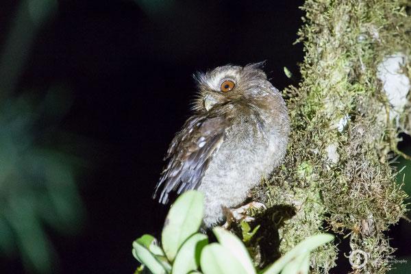 Xenoglaux loweryi / Long-whiskered Owlet / Peruanerkauz