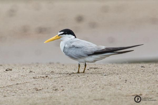Sternula superciliaris / Yellow-billed Tern / Amazonasseeschwalbe