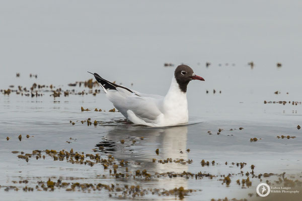Larus ridibundus / Black-headed Gull / Lachmöwe