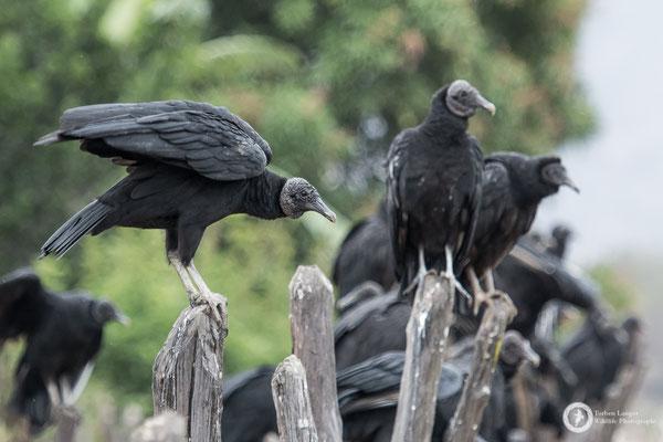 Coragyps atratus / American Black Vulture / Rabengeier