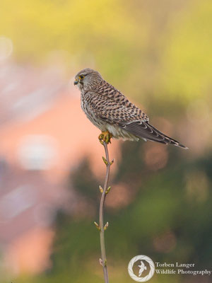 Falco tinnunculus / Common Kestrel / Turmfalke ♀