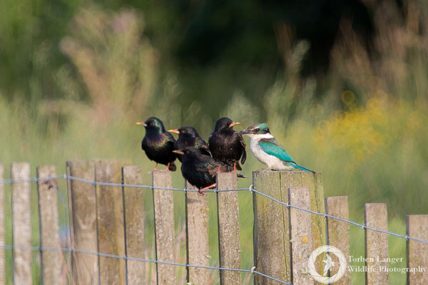Starlings and a Sacred Kingfisher at Ambury Regional Park