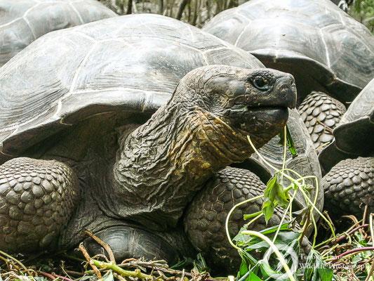 Chelonoidis nigra / Galápagos Tortoise / Galápagos-Riesenschildkröte