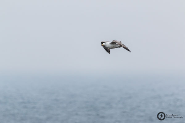 Larus argentatus / European Herring Gull / Silbermöwe
