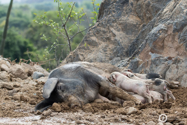 A pig life in Peru... could be worse