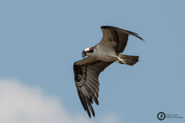 Pandion haliaetus / Osprey / Fischadler