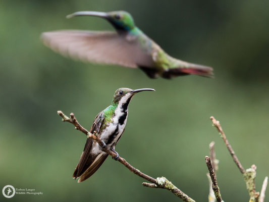 Anthracothorax nigricollis / Black-throated Mango / Schwarzbrust-Mangokolibri ♂ & ♀