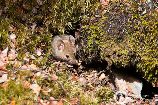 An invasive mouse at Arthur's Pass National Park