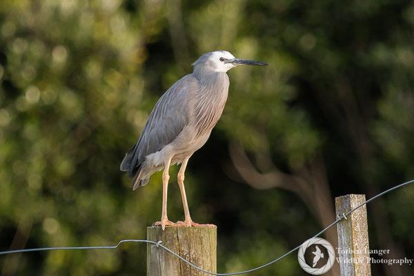 Egretta novaehollandiae / White-faced Heron / Weißwangenreiher