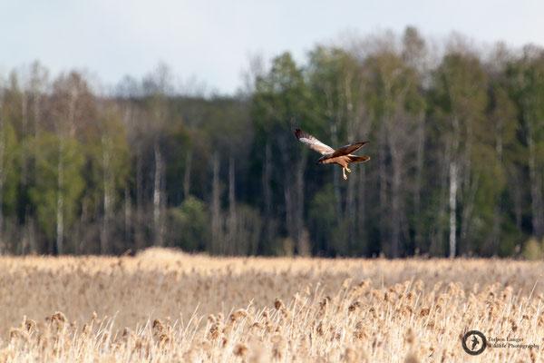 Circus aeruginosus / Western Marsh Harrier / Rohrweihe ♂