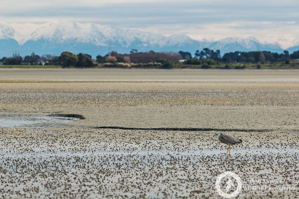 White-faced Heron on a tidal flat in Christchurch. In the background are the Southern Alps.
