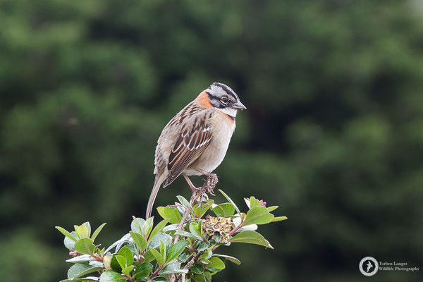 Zonotrichia capensis / Rufous-collared Sparrow / Morgenammer