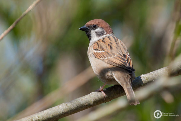 Passer montanus / Tree Sparrow / Feldsperling