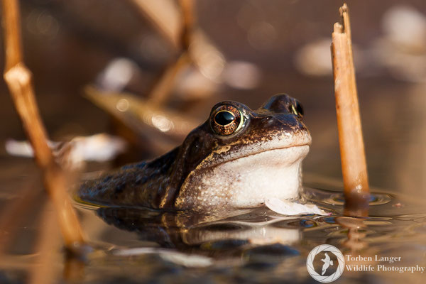 Rana temporaria / Common Frog / Grasfrosch