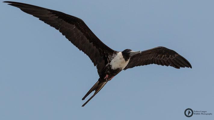 Fregata magnificens / Magnificent Frigatebird / Prachtfregattvogel ♀