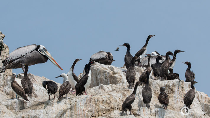 Leucocarbo bougainvilliorum / Guanay Cormorant / Guanoscharbe & Pelecanus thagus / Peruvian Pelican / Chilepelikan