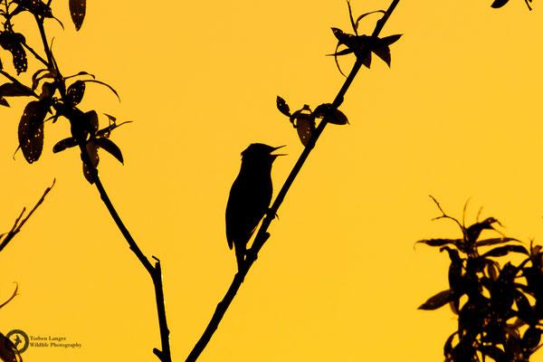 Acrocephalus schoenobaenus / Sedge Warbler / Schilfrohrsänger