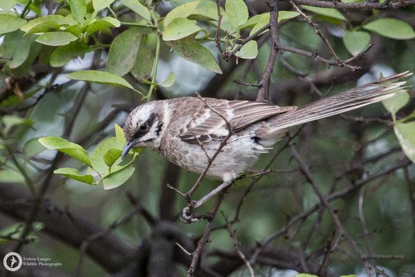Mimus longicaudus / Long-tailed Mockingbird / Langschwanz-Spottdrossel