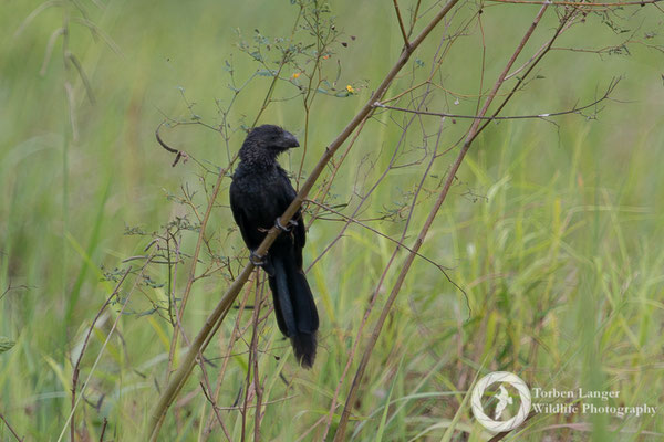 Crotophaga ani / Smooth-billed Ani / Glattschnabelani