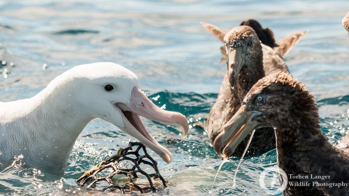 Diomedea exulans / Wandering Albatross / Wanderalbatros & Macronectes halli / Northern Giant Petrel / Hallsturmvogel