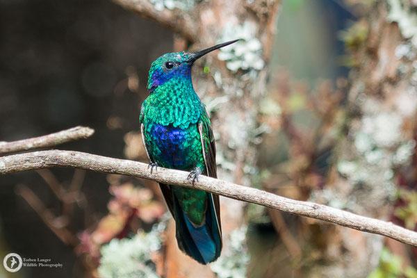 Colibri coruscans - Sparkling Violetear - Großer Veilchenohrkolibri