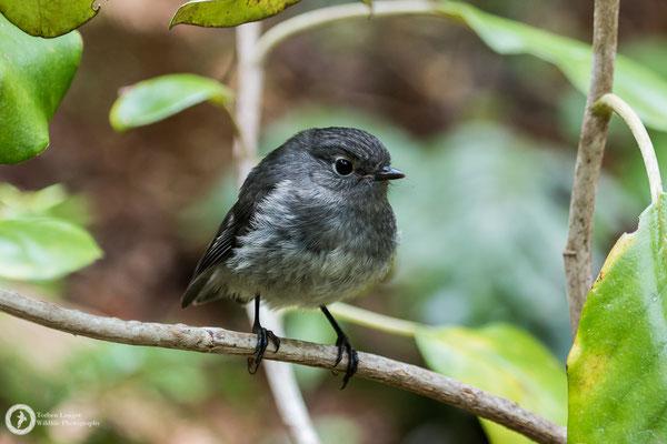 Petroica australis / South Island Robin / Südinselschnäpper