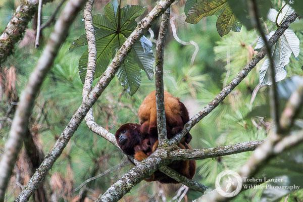 Alouatta seniculus / Venezuelan Red Howler Monkey / Roter Brüllaffe