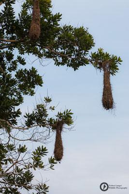 Psarocolius angustifrons / Russet-backed Oropendola / Breithauben-Stirnvogel - nest