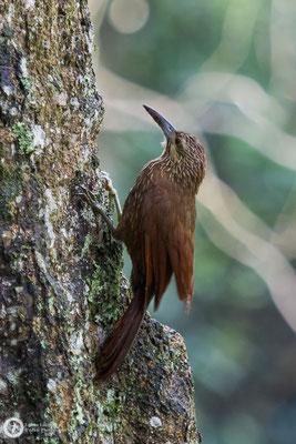 Xiphocolaptes promeropirhynchus / Strong-billed Woodcreeper / Starkschnabel-Baumsteiger