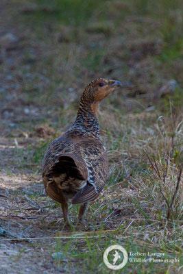 Tetrao urogallus / Western Capercaillie / Auerhuhn ♀