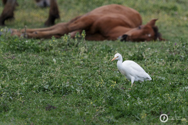 A cattle egret and a horse. The horse is just sleeping btw.