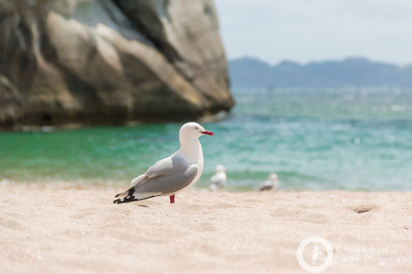 Silver Gull at Cathedral Cove