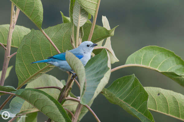 Tangara episcopus / Blue-grey Tanager / Bischofstangare