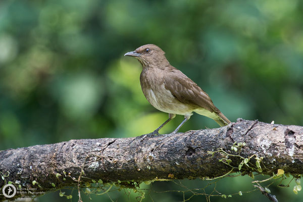 Turdus ignobilis / Black-billed Thrush / Schwarzschnabeldrossel