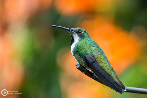 Anthracothorax nigricollis - Black-throated Mango - Schwarzbrust-Mangokolibri ♀