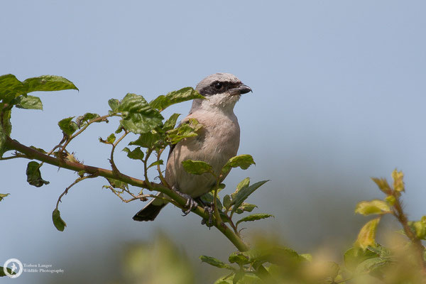 Lanius collurio / Red-backed Shrike / Neuntöter ♂