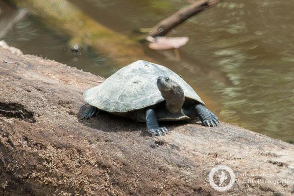 Turtle / Schildkröte
