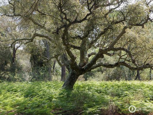 A beautiful cork oak forest close to the Palacio del Acebrón