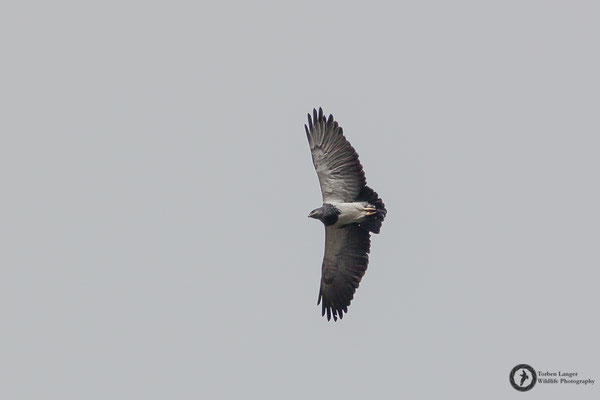 Geranoaetus melanoleucus / Black-chested Buzzard-Eagle / Agula