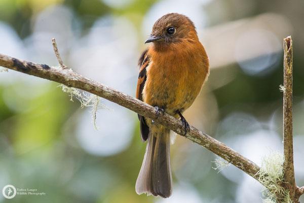 Pyrrhomyias cinnamomeus / Cinnamon Flycatcher / Zimttyrann