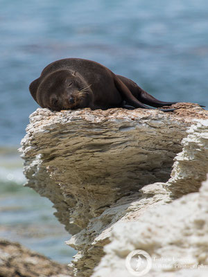 A New Zealand Fur Seal sleeping at Kaikoura Peninsula