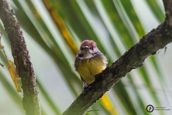 Poecilotriccus ruficeps / Rufous-crowned Tody-Flycatcher / Rostkappen-Todityrann