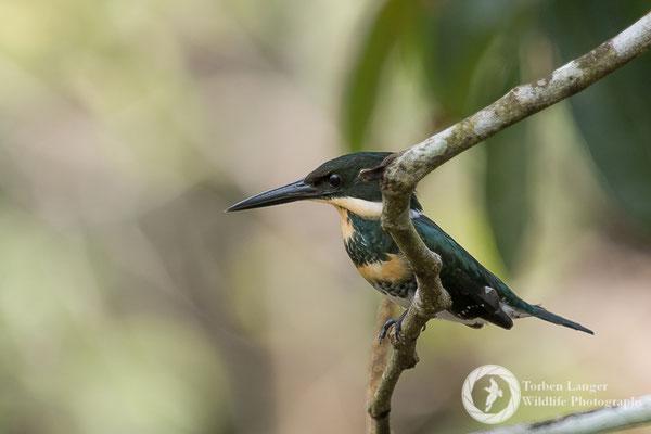 Chloroceryle americana / Green Kingfisher / Grünfischer ♀