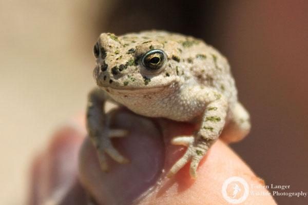 A tiny Pevzov's Toad