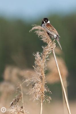 Emberiza schoeniclus / Reed Bunting / Rohrammer ♂