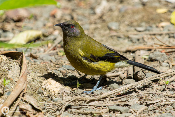 Anthornis melanura / New Zealand Bellbird / Maorihonigfresser ♂