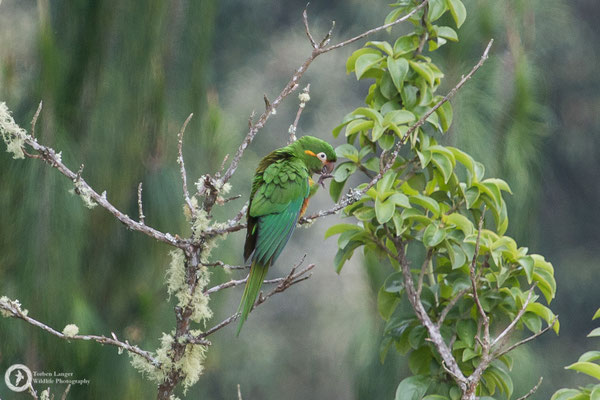 Leptosittaca branickii / Golden-plumed Parakeet / Pinselsittich