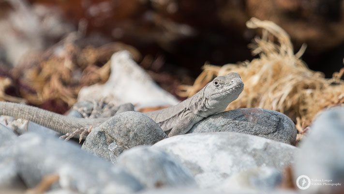 This lizard is living in the sea lions head
